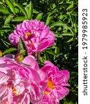 Stock Foto Flower Pink Peon ...