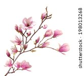 Stock photo pink magnolia flower isolated on white background 198013268