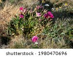 Wild Carnation  Dianthus...
