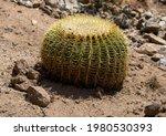 A Golden Barrel Cactus Planted...