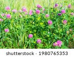 Wonderful Blooming Clover With...