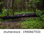 Dark Tree Trunk With Gray Moss...