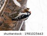 Downy Woodpecker With Beak...
