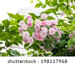 Group Of Pink Rose In The...