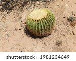 A Golden Barrel Cactus ...