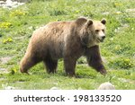 Large Male Grizzly Bear In...