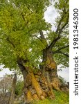 Small photo of Largeleaf Linden tree with an age around 500 years, a girth of 8.8 m, located in Burgstall near Rothenburg, Bavaria, Soiuth Germany