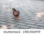 A Pigeon Walks On Paving Stones ...