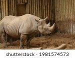 Full Shot Of A Black Rhino