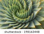 Cacti Leaves Spiral