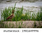 Family Egyptian Goose With Its...