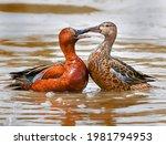 Cinnamon Teal Ducks In Love