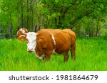 Simmental Grazing Dairy Cows...