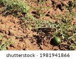 Little Watermelon And Its Vines ...