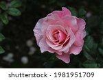 Pink Rose Flower On Dark...
