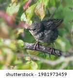 Closeup Of  A Young Starling...