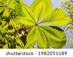 Detailed View Of Aesculus...