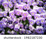 Violet Pansy Flowers. This...
