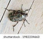 Dark Flower Scarab Beetle ...