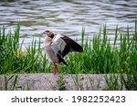 Egyptian Goose Spreading Wings...