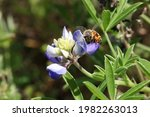 Lupinus Texensis  The Texas...