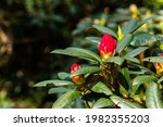 Red Unopened Rhododendron...