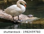 Two Graceful White Swans With A ...