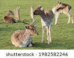 Dam Deer Cub Calf Cuddles With...