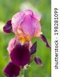 Blooming Purple Bearded Iris In ...