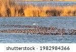 A Pond With Ducks. A Lot Of...