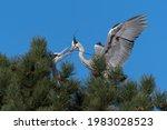 Grey Heron  Ardea Cinerea  In...