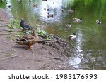Duck With Ducklings. Doves....