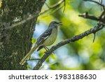 A Mockingbird High Up Perched...