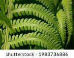 Green Fern Leaf In Sunlight On...