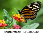 Monarch Butterfly   Sipping...