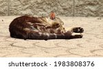 Feral Tabby Cat Resting On A...