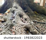 Exposed Tree Roots Of The...