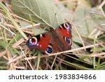 Peacock Butterfly In Grass In...