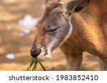 Kangaroo Munching On Green Grass