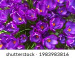 Many Spring Blooming Purple...