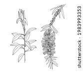callistemon comboynensis.... | Shutterstock .eps vector #1983993353