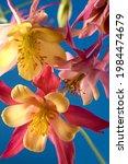 Bouquet Of Aquilegia Glandulosa ...