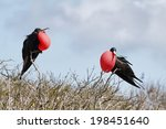 Two Great Frigate Bird Exposin...
