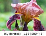 Burgundy Pink Bicolor Iris...