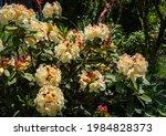 Large Flowering Bush Of...