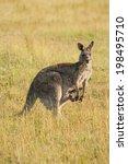 Wild Australian Female Kangaro...