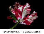 White Red Parrot Tulips...