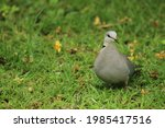 Ring Necked Dove Walking On The ...