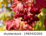 Red Ripe Berries Of Viburnum On ...