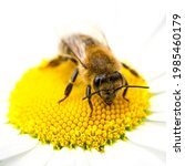 The Bee Sits On A Chamomile...